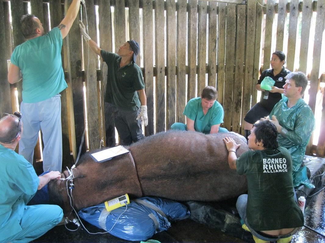 IVF efforts to save the Sumatran rhino