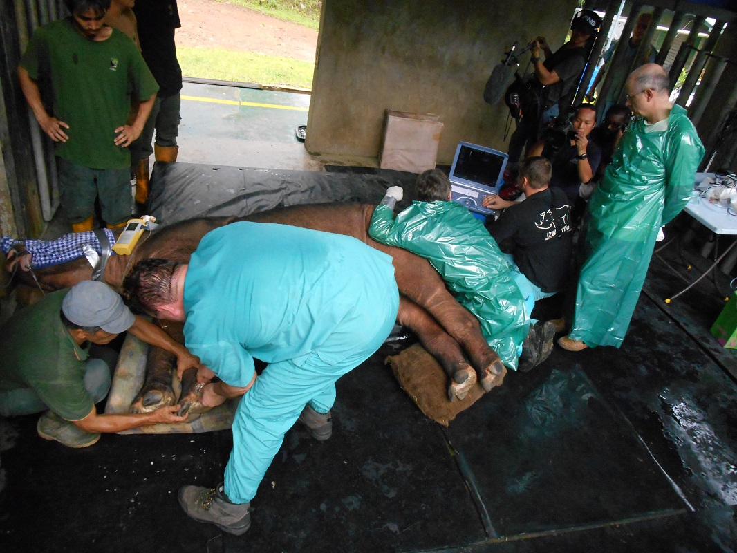 IVF efforts to save the Sumatran rhino