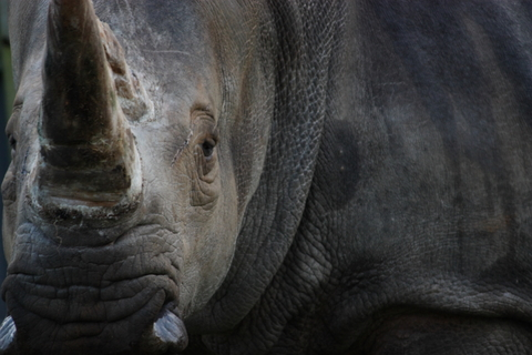 An African black rhino with its distinctive horn