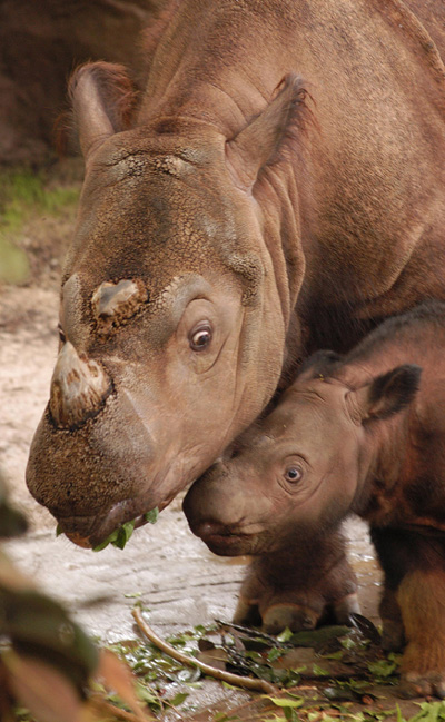 A moment to treasure - a female Sumatran rhino and her young.