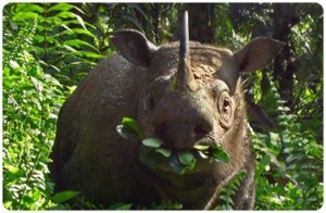 Meeting Tam in Borneo: our last chance to save Asia's two horned rhino
