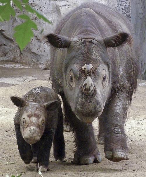 Emi and Harapan at the Cincinnati Zoo
