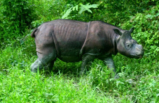 Researchers estimate that 250 Sumatran rhino survive in the world, and 40 or so Bornean rhinos, such as this captive male, named Tam. Scientists hope to pair Tam with a female to produce the next generation of Bornean rhinos, in an effort to save this species from extinction. Photo by: Jeremy Hance