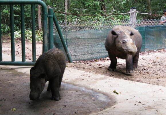 Andatu, born 23 June 2012 at Sumatran Rhino Sanctuary in Way KambasNational Park, with his mother Ratu, who was captured from the wildnear Way Kambas in 2005. Andatu's father Andalas was born inCincinnati Zoo in 2001. This success story supports the notions thatthe Sumatran rhino might be saved from extinction only throughintensive care in fenced sanctuary conditions. And that collaborationbetween Indonesia and Malaysia with global zoos and researchinstitutions will be needed in order to provide enough gametes (eggsand sperm) and the best reproductive technology