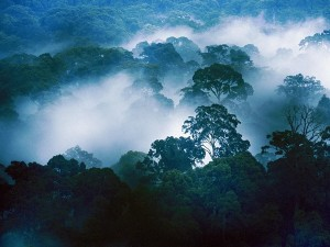 A mist-covered view of the forest canopy at Danum Valley