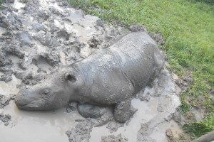 Iman wallowing in the mud in the comfort of her enclosure