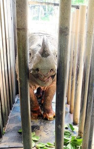 Sumatran rhinos are hunted as their horns are sought for folk remedies.