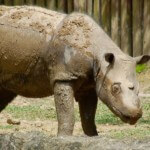 The Near Extinction of the Sumatran Rhino – BFM podcast