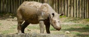 SumatranRhino bfm
