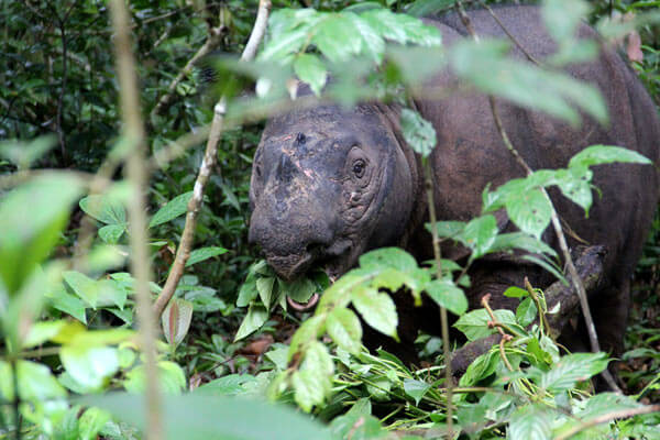 Bina having breakfast at the Sumatran Rhino Sanctuary. Photo by: Tiffany Roufs.