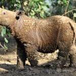 Can we save the Sumatran rhino? Indonesia holds out hope