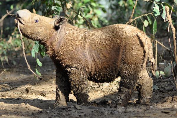 A young Andatu enjoys a mud bath. Photo courtesy of the IRF