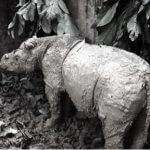 Will current conservation responses save the Critically Endangered Sumatran rhinoceros Dicerorhinus sumatrensis?