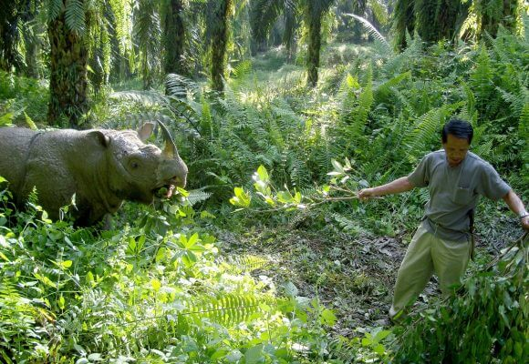 Desperately seeking Indonesian's help to save rhinos