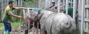 Reproductive technology (and understanding of experimental psychology) needed to save a critically endangered rhino