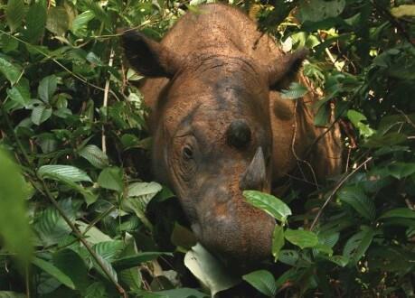 mb1_sumatran_rhino_waykambas_2008_willem-v-strien_wikimedia-459x330