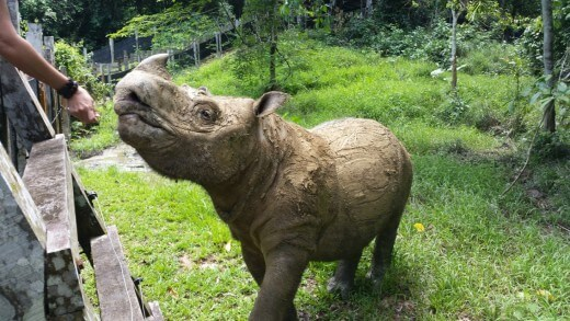 mb6_tam_healthy-male_borneorhinoalliance-520x293