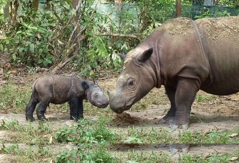 mb7_sumatran_rhino_4_days_old_intlrhinofdn_wikimedia-484x330