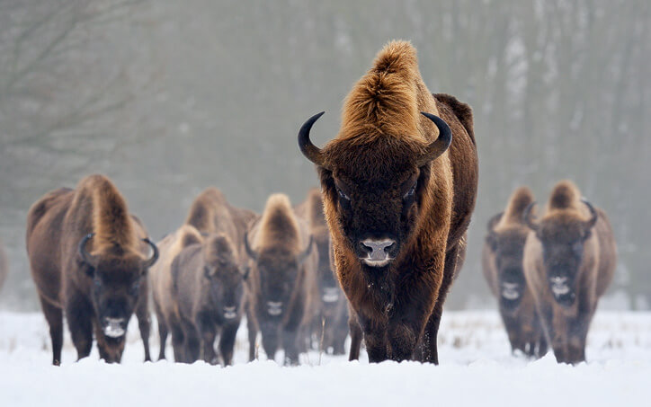 european-bison-images_bora