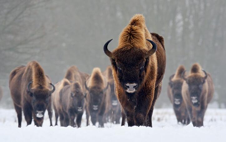 european-bison-images_bora