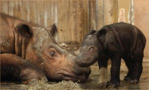 emi-suci-awesome-copy-baby-suci-and-her-mother-emi-in-their-enclosure-photo-courtesy-of-the-cincinnati-zoo