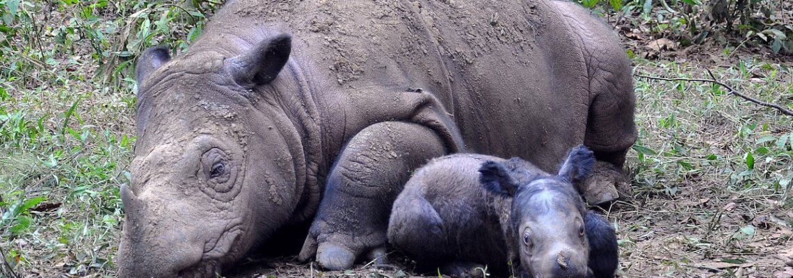 The struggle to breed Sumatran rhinos in captivity (Articles from Mongabay)