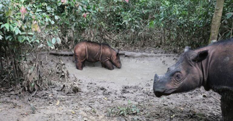 Footprints in the forest: The future of the Sumatran rhino