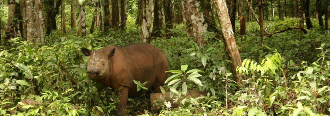 Humans are Sumatran rhinoceros' biggest threat – and last hope
