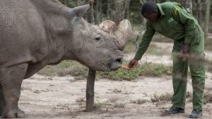 BBC Science & Environment: Embryo breakthrough 'can save northern white rhino'