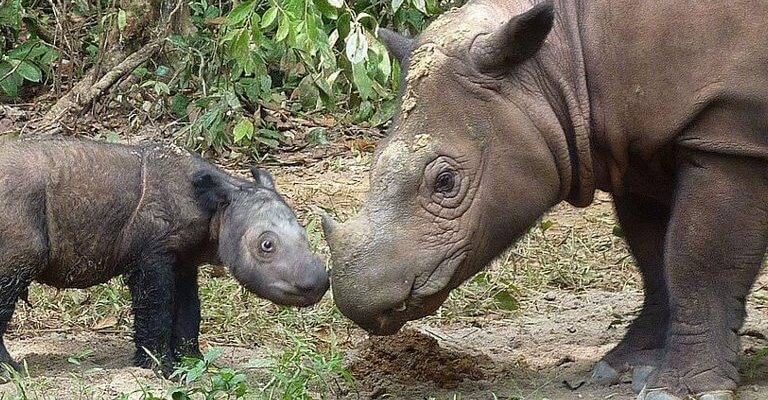 Indonesian government puts off Sumatran rhino IVF program
