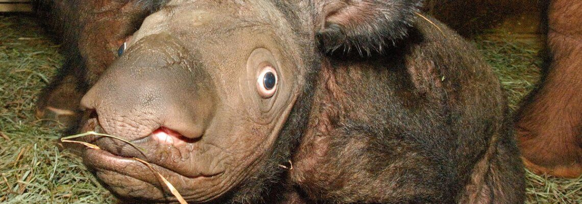 1984: the meeting that changed everything for Sumatran rhinos