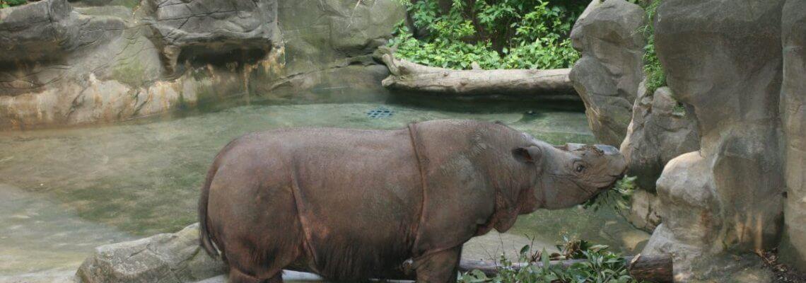 The great rhino U-turn