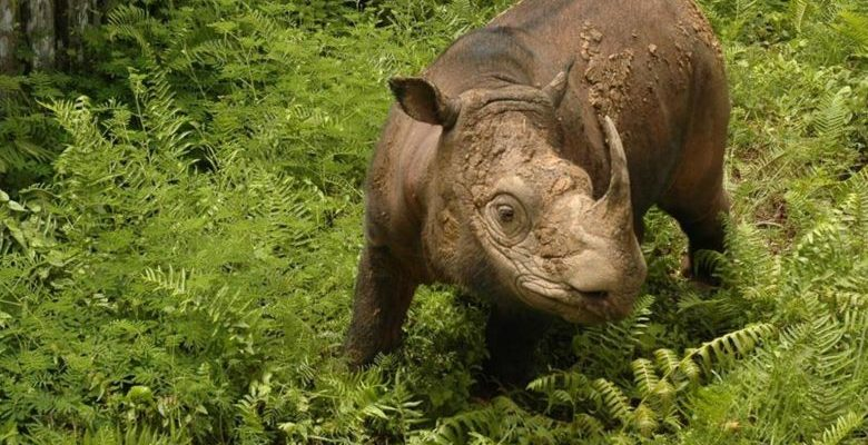 Tam, Malaysia's only male Sumatran rhino dies