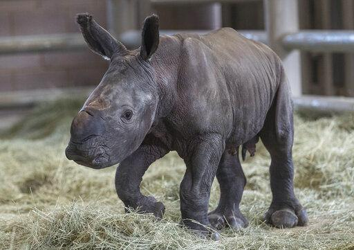 Barbara Durrant: How a newborn rhino could help to save his subspecies cousins from extinction