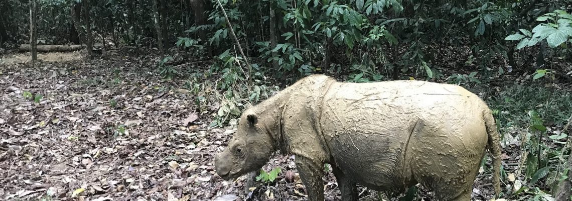 Malaysian attempt at Sumatran rhino IVF fails on low quality of sperm